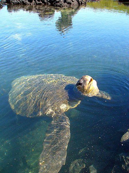 Galapagos_Island_Tortoise_drowning