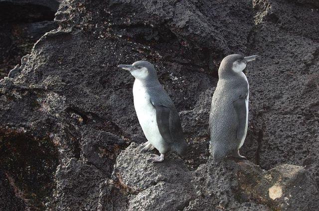 pingouin des galapagos