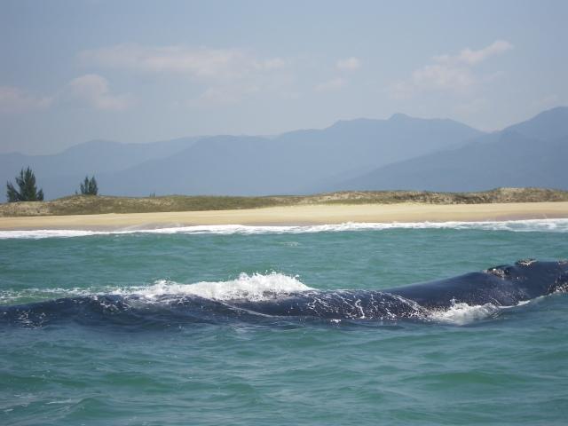Parana baleine