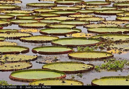 Water Lilies (Victoria amazonica), Pantanal Matogrossense National Park. Mato Grosso, Brazil
